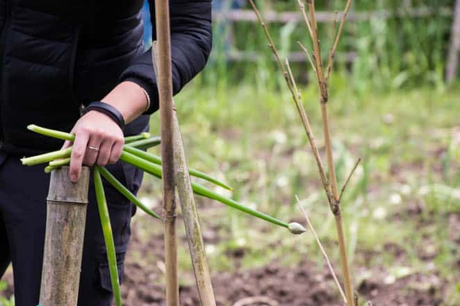 Picking fresh spring onion for the udon noodle dipping sauce at Shoganji Temple, Japan.