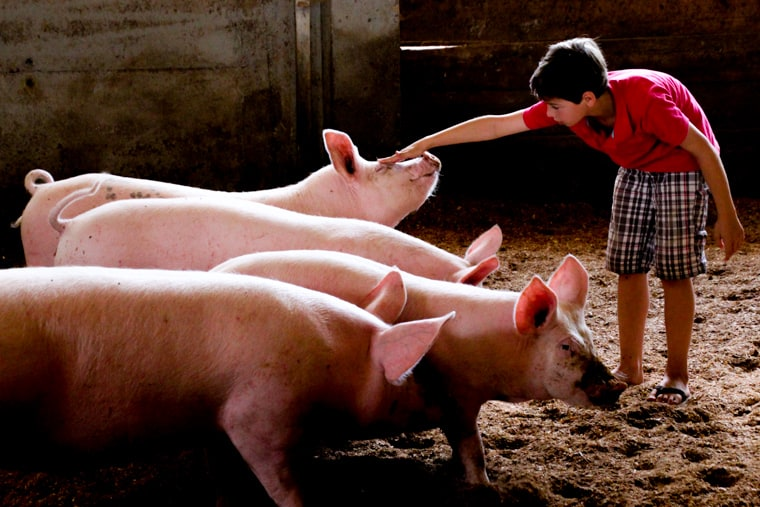 Capadau Organic Pork Farm - Only a few pigs are kept on the farm and are well looked after by the family who love to play with them!