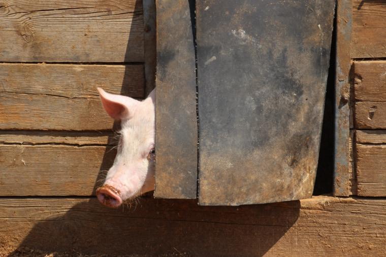 Capadau Organic Pork Farm - A shy piggy hides in his house.
